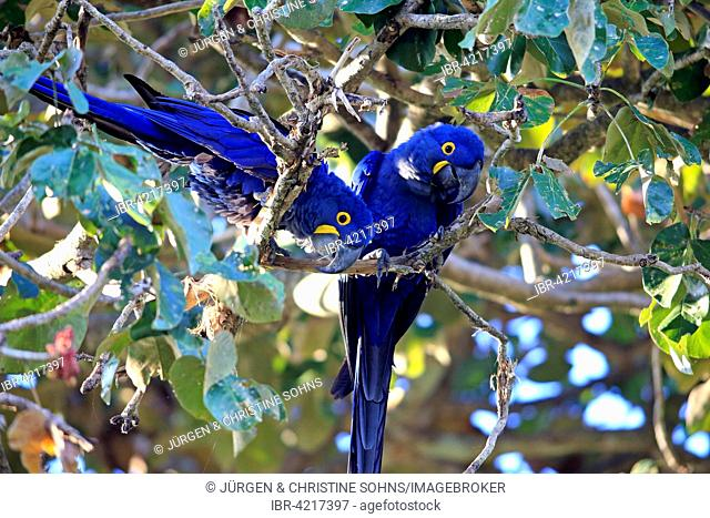 Hyacinth macaw (Anodorhynchus hyacinthinus), pair in a tree, adult, Pantanal, Mato Grosso, Brazil