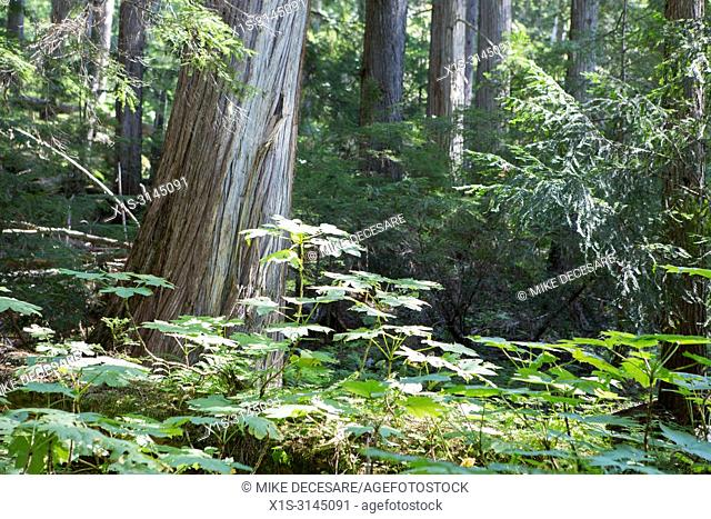 Ground cover surrounds an Old Growth Cedar in a protected forest in Kokanee Creek Provincial Park in British Columbia, Canada