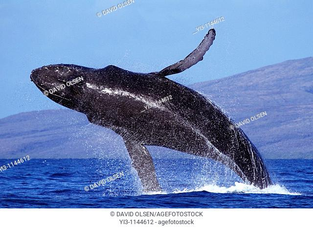 Humpback whale breaches with Lanai in the background, near Maui, Hawaii