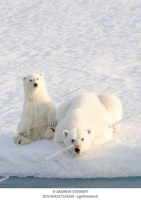 Two Polar Bears Ursus maritimus Longyearbyen, Svalbard, Norway