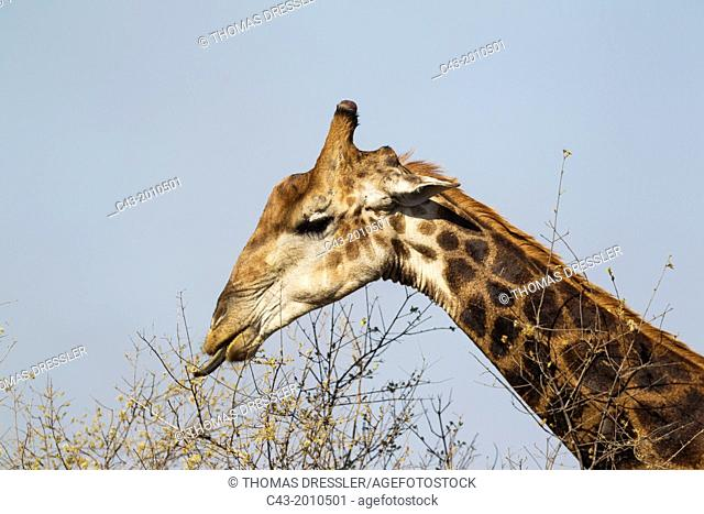 Southern Giraffe (Giraffa camelopardalis giraffa) - Bull collects flowers and leaves with his extensible tongue. Kruger National Park, South Africa