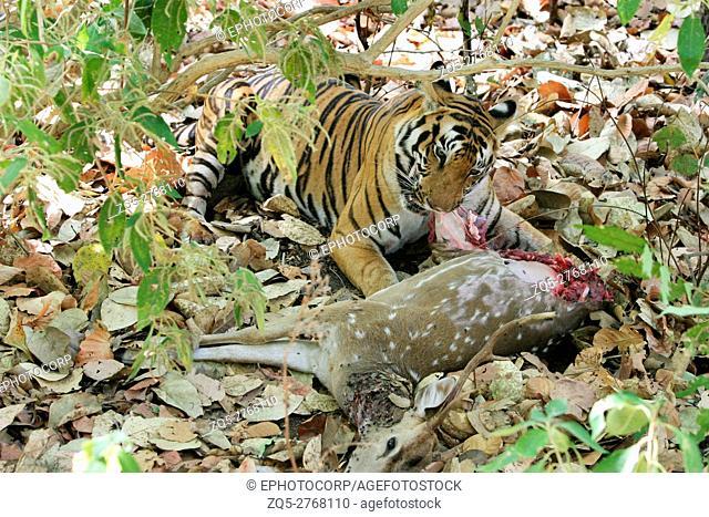 Female tiger, Panthera tigris, eating spotted deer Kanha National Park, Madhya Pradesh, India