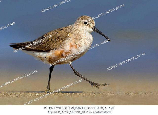 Moulting adult Curlew Sandpiper, Curlew Sandpiper, Calidris ferruginea