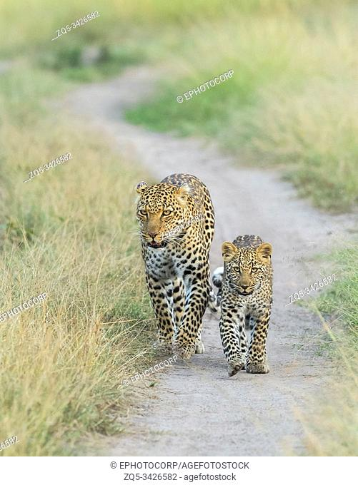 Leopard mother and Cub, Africa