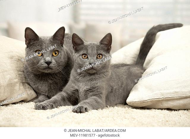 Grey Chartreux cat and kitten indoors