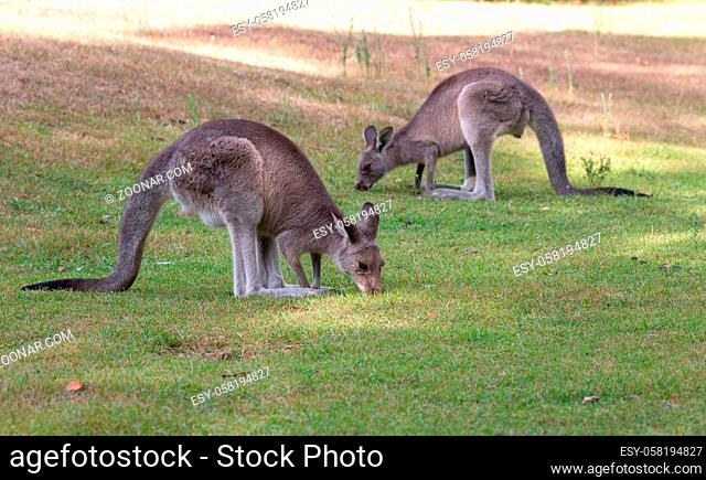 Kangaroos eating the green grass of a bush land clearing during the late afternoon