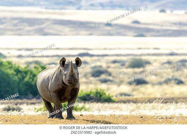 South Western Bblack Rhinoceros or Hook-lipped Rhinoceros (Diceros bicornis occidentalis). Desert Rhino Camp. Palmwag Concession. Namibia