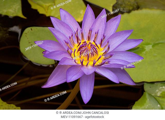 Nymphaea cultivar Stock Photos and Images   age fotostock