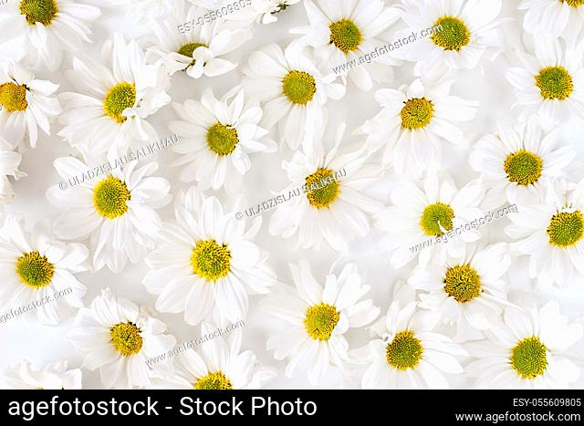Daisy pattern. Flat lay spring and summer flowers background. Flat lay. Dense texture