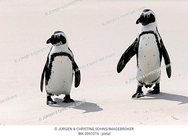African Penguins or Jackass Penguins (Spheniscus demersus), pair on the beach, Boulders Beach, Simon's Town, Western Cape, South Africa