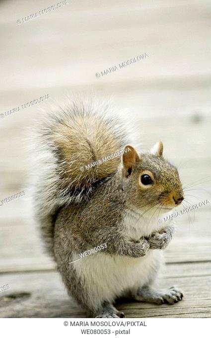Squirrel. Sciurus carolinensis. February 2008, Maryland, USA