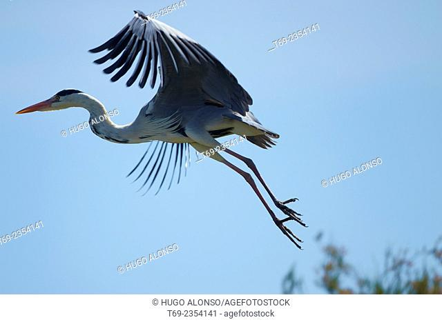 Grey heron. Ardea cinerea