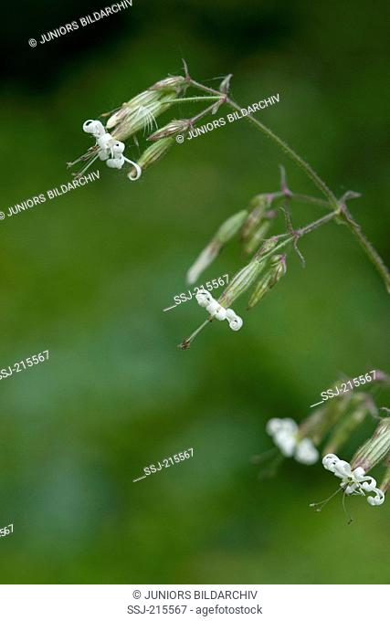 Eurasian Catchfly (Silene nutans), flowering stem. Germany