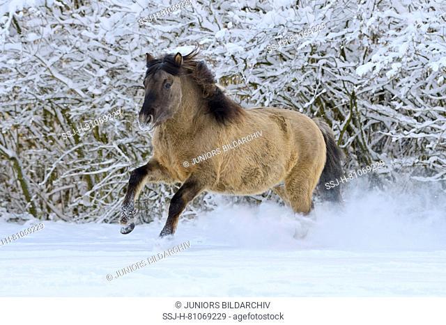 Konik pony galloping in snow. Germany
