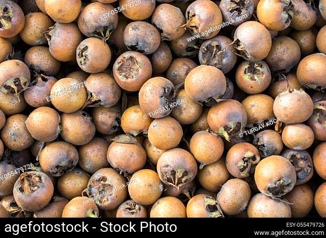Freshly picked up ripe medlar fruit species mespilus germanica