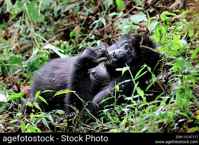 Alter Berggorilla im Bwindi Impenetrable Nationalpark Uganda (Gorilla beringei beringei)   Old Mountain Gorilla at Bwindi Impenetrable National Park Uganda...