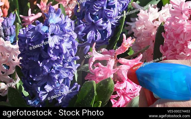 Spraying hyacinths