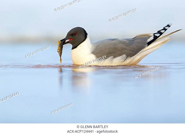 Sabine's Gull (Xema sabini) feeding on a small pond on the tundra in Northern Alaska
