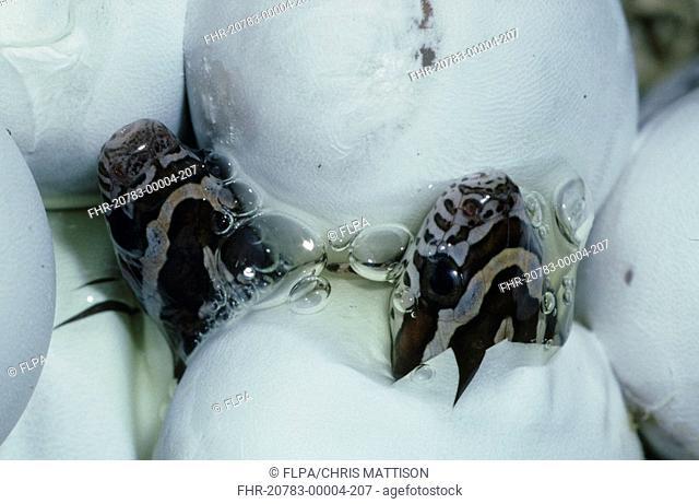 Corn Snake Elaphe guttata Eggs hatching