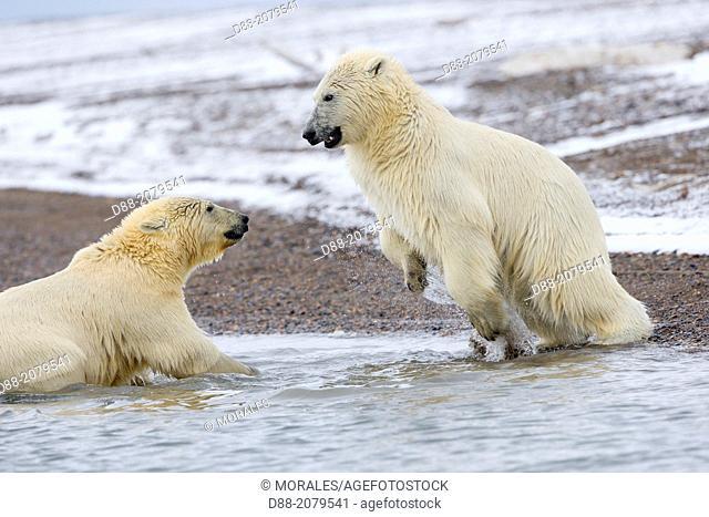 United States , Alaska , Arctic National Wildlife Refuge , Kaktovik , Polar Bear( Ursus maritimus ) , swim in the sea , youngs playing