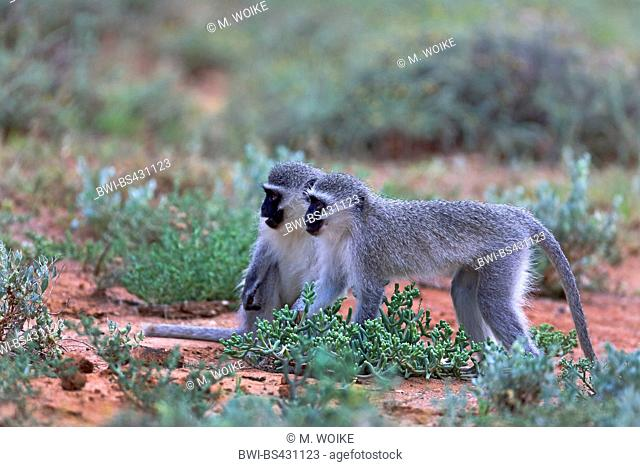 Grivet monkey, Savanna monkey, Green monkey, Vervet monkey (Cercopithecus aethiops), pair standing on the ground, side view, South Africa, Eastern Cape