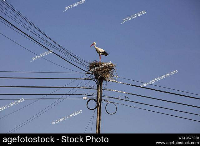 Stork in the nest, power line, Aveiro Ria, AVEIRO, MURTOSA, BEIRA, . PORTUGAL, EUROPE