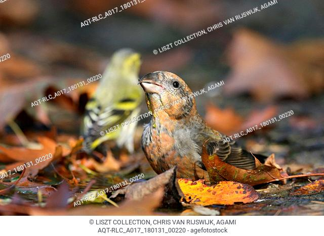 Common Crossbill foraging on the ground Netherlands