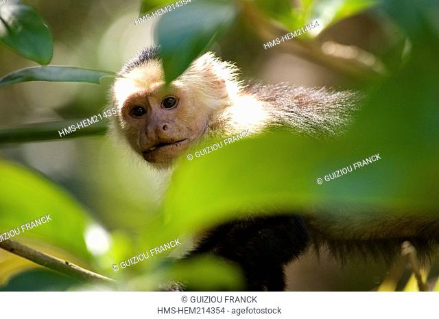 Costa Rica, Limon Province, Caribbean coast, Cahuita National Park, white-faced Capuchin Monkey