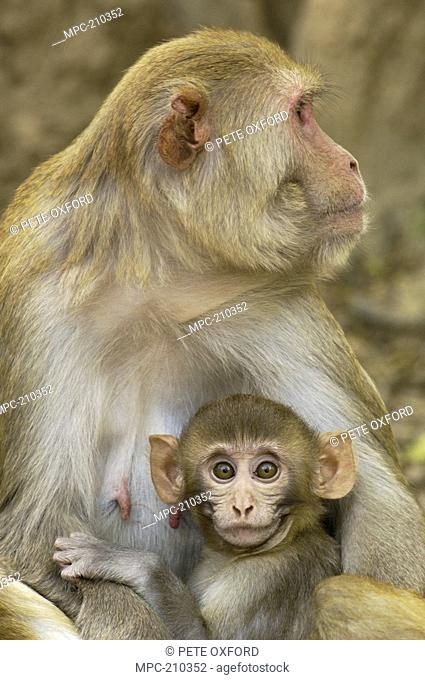 Rhesus Macaque Macaca mulatta, mother and infant in the town of Bharatpur, Rajasthan, India