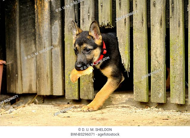 German Shepherd Dog (Canis lupus f. familiaris), puppy with old bred getting out of a hole in wooden fence, Germany