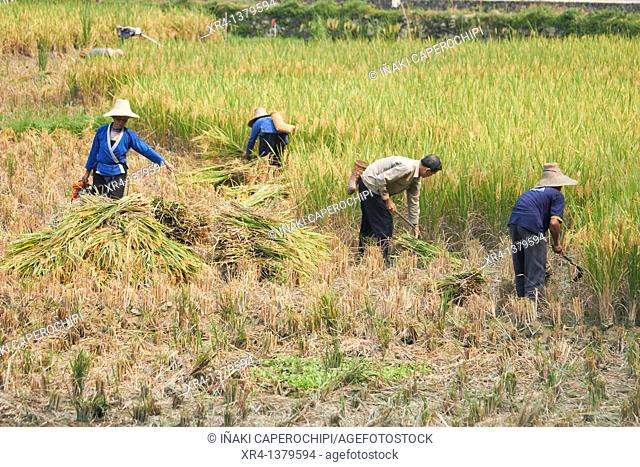 Harvesting rice, Biasha, Guizhou, China