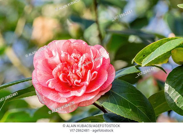 Camellia japonica 'Can Can' (AUS) 1961