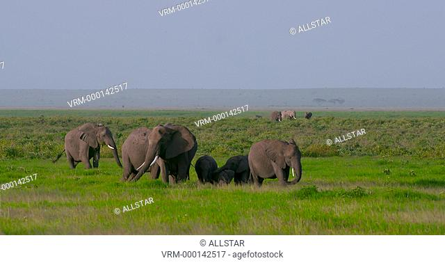 HERD OF ELEPHANTS IN SWAMP; AMBOSELI, KENYA, AFRICA; 02/02/2016