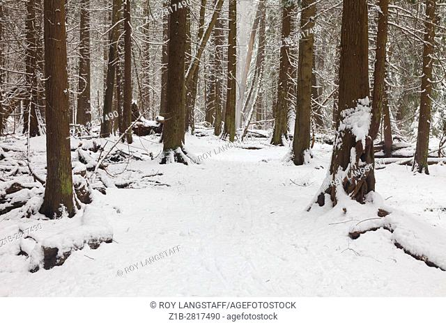 Trail through a temperate rain forest in winter with fresh snow