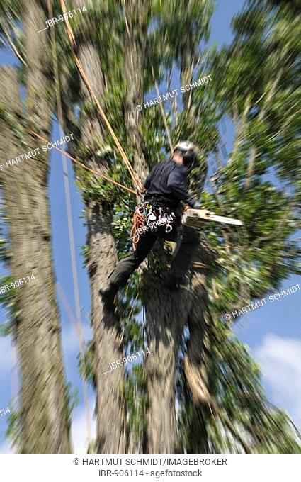 Aborist hanging from ropes secured in the crown of a tree, care of large trees through rope climbing technology