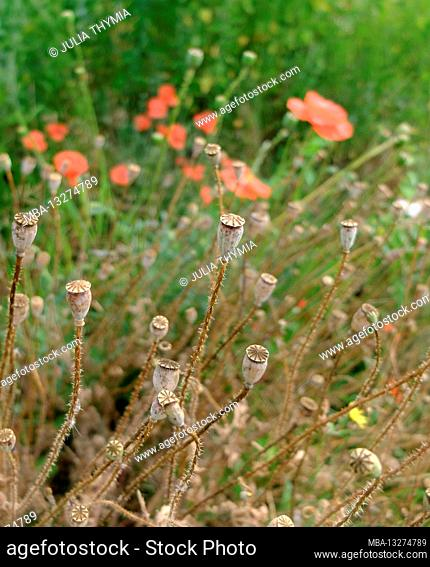 Red corn poppy (Papaver rhoeas), flower and dry seed pods