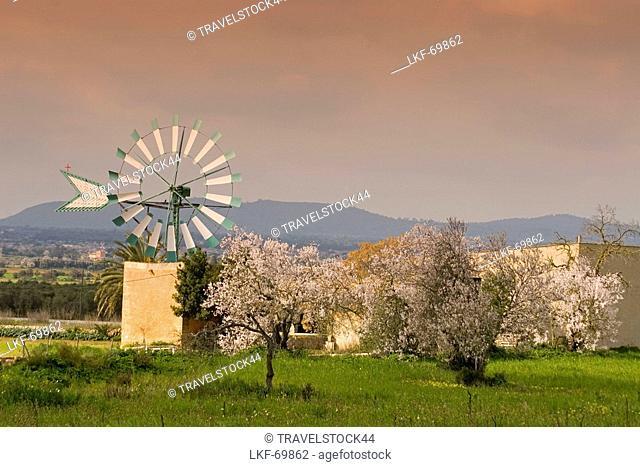 Mallorca windmill, almond blossom