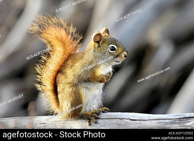 A red squirrel 'Tamiasciurus hudsonicus' sitting on a dead tree branch in rural Alberta Canada