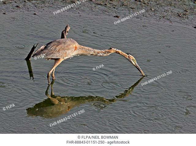 Purple Heron (Ardea purpurea bournei) adult foraging in pool in drying reservoir Santiago Island, Cape Verde            April