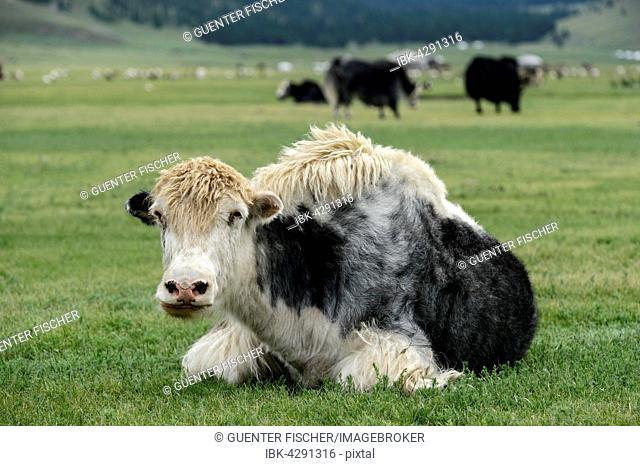 Black White yak (Bos mutus), Orkhon Valley, Khangai Nuruu National Park, Övörkhangai Aimag, Mongolia