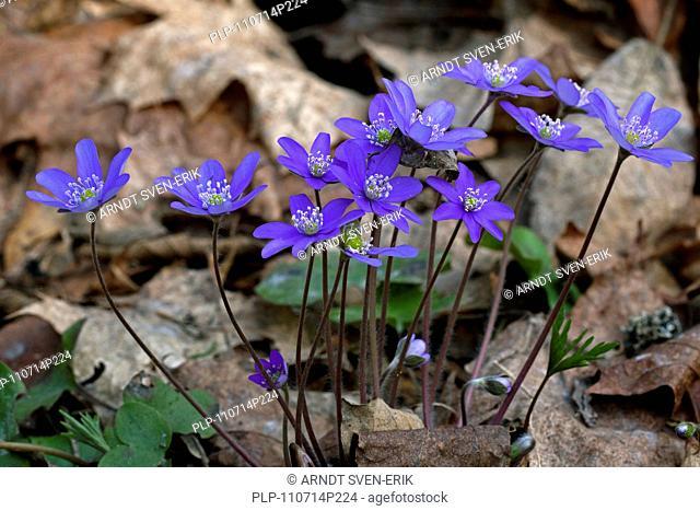 Common hepatica / Anemone hepatica / liverwort / kidneywort Hepatica nobilis in forest, Dalarna, Sweden