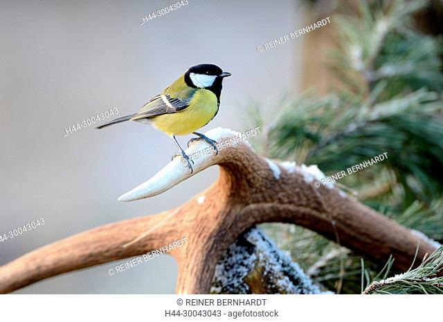 Home birds, home bird, great tit, great tit on antler pole, great tits, titmouse, titmice, Parus major, songbird, songbirds, sparrow's bird, sparrow's birds