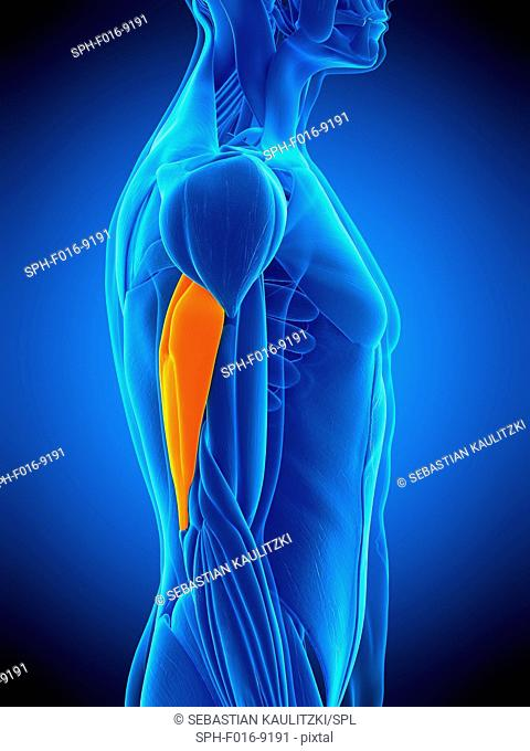 Illustration of the triceps muscle