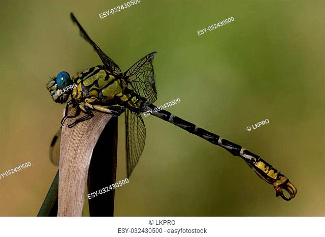 wild black yellow dragonfly anax imperator on a wood leaf in the bush