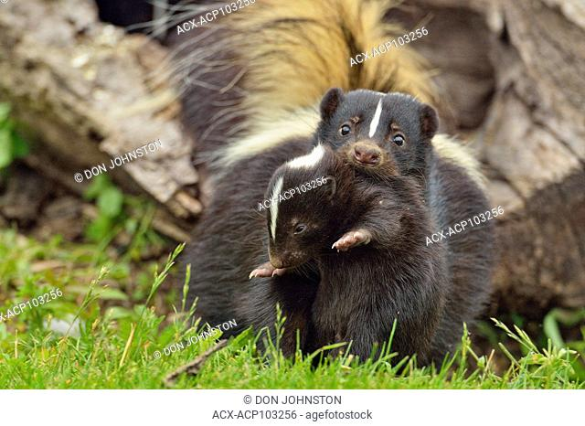 Striped Skunk (Mephitis mephitis) Mother interacting with young, captive raised, Minnesota wildlife Connection, Sandstone, Minnesota, USA