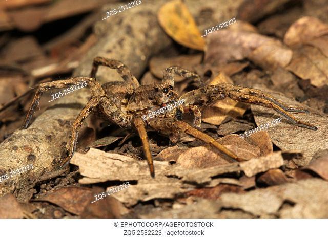 Wolf spider, Lycosa sp, Lycosidae, Aarey milk colony Mumbai , India