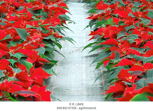 poinsettia (Euphorbia pulcherrima), plants with magnificent coloured bracts in a garden center