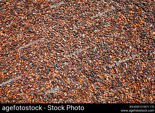 Cocoa drying near Agboville, Ivory Coast