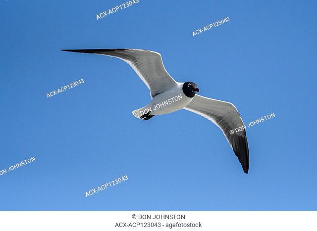 Laughing gull (Larus atricilla), Galveston, Texas, USA