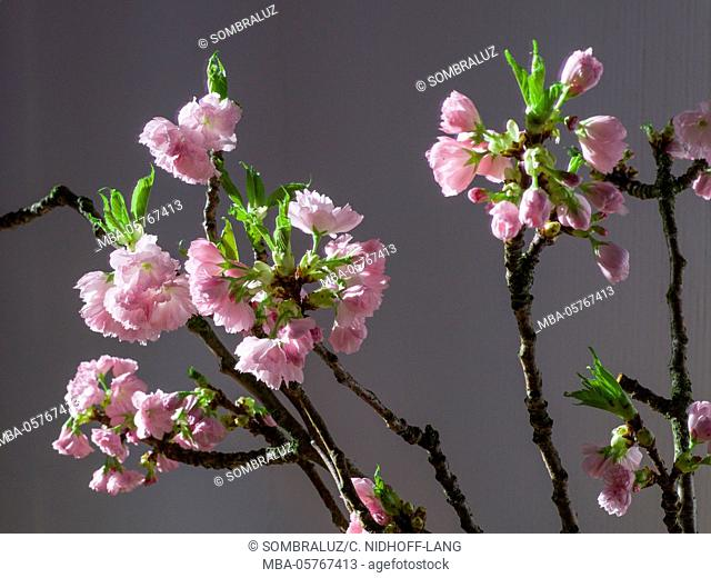 branch of cherry blossoms in front of grey background